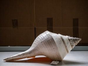 seashell syrinx aruanus australian trumpet